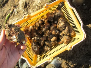 Récolte du Taro