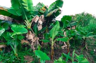 Jeune plantation de bananes