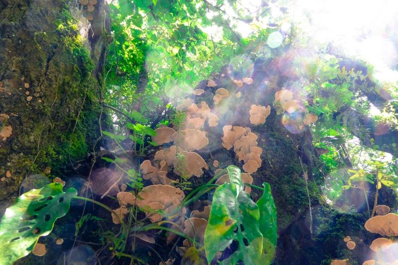 champignons guatemala