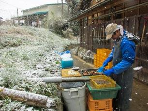 Nettoyage du taro
