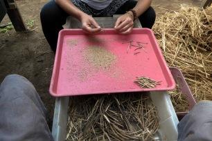 Écossage de graines avec Didi