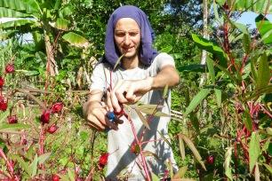 Récolte de la flor de Jamaica