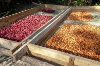 Séchage des flors de Jamaica et du cacao