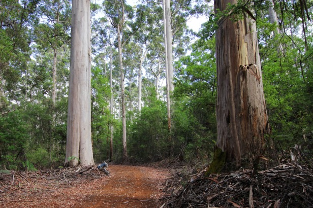 Eucalyptus géants