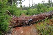 Lorsqu'un Eucalyptus géant tombe sur le sentier