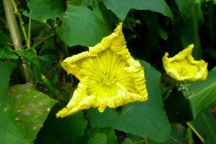 Fleur de Luffa