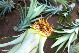 Pousse d'ananas