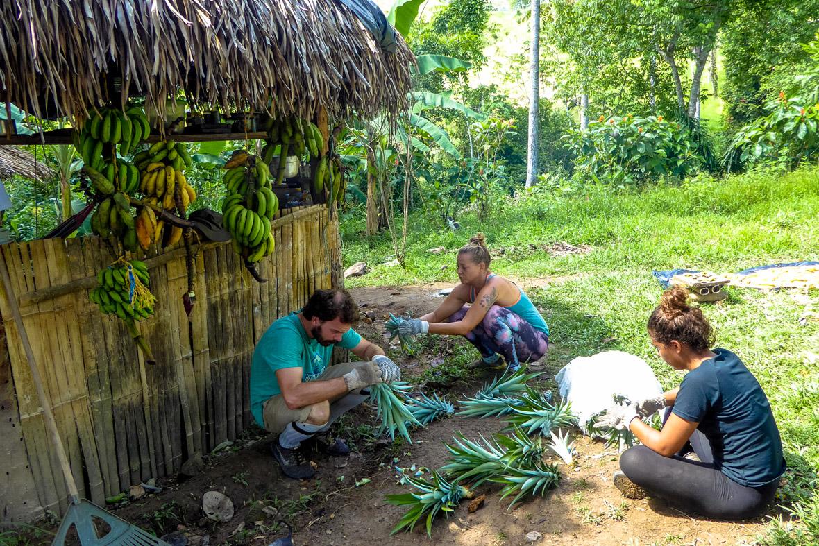 Préparation des pousses d'ananas