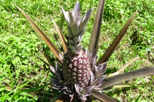 Ananas rouge