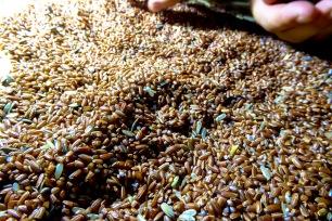 Ancienne espèce de riz